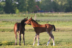 Two horse foals in field Stock Photos