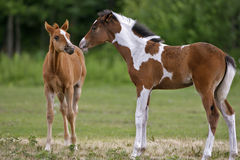 Two Horse Foals Royalty Free Stock Images