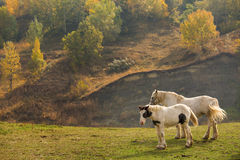 Two horse on a green field with trees in background. Stock Photos