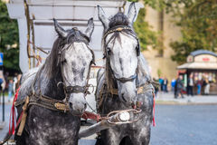Two horse in harness Royalty Free Stock Photo