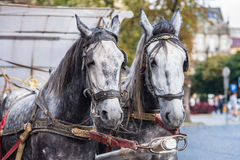Two horse in harness Stock Photography