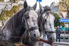 Two horse in harness Royalty Free Stock Image