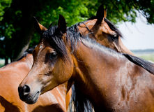 Two horse head Royalty Free Stock Images