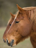 Two Horse Heads Stock Images