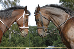 Two horse heads royalty free stock photos