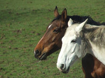 Two horse heads Royalty Free Stock Image