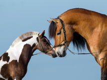 Two horse heads on blue background Stock Image