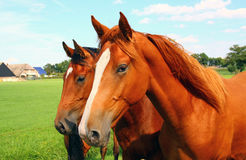 Two horse heads Stock Image