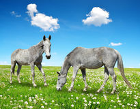 Two horse Stock Images