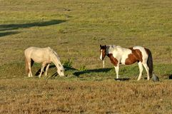 Two horse in morning pasture Stock Photos