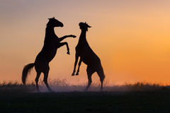 Two horse play Stock Images