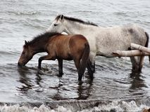 Two horse playing at the seaside on nicaragua beach royalty free stock images