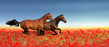 Two horse in poppy flowers Royalty Free Stock Image