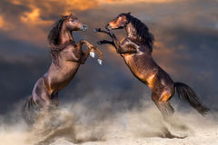 Two horse rearing up. Two horse play and rearing up in desert dast against dramatic sky stock images