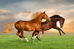 Two horse run stock photo