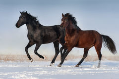 Two horse run Royalty Free Stock Photo