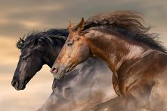Couple horse portrait in motion. Two horse run free close up portrait Royalty Free Stock Images