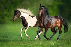 Horse herd run. Two horse run free on green field stock image