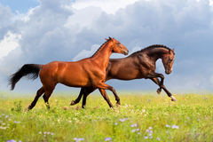 Two horse run at summer day Royalty Free Stock Image