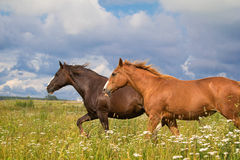 Two horse running. Together in field Stock Images