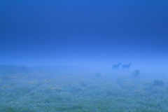 Two horse shadows in fog Stock Image