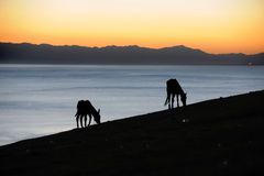Two horse at sunrise Royalty Free Stock Photos