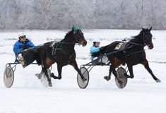Two horse trotter breed on the move. Winter horseracing. Two horse trotter breed on the move at racetrack Stock Photography