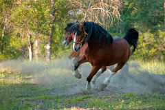 Two horses. In movement in the forest Stock Image