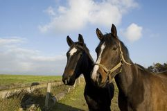 Two horses. Stock Photography