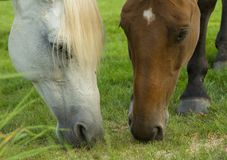 Two horses. On the field stock photo