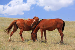 Two horses. Two bay horses feeding in steppe Stock Photo