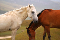 Two horses. White and brown Stock Photo