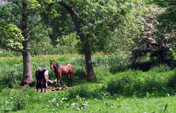 Two Horses. In a field royalty free stock photography