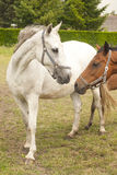 Two horses. In a meadow at a farm Stock Images