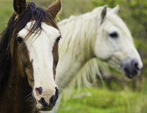 Free Two Horses Royalty Free Stock Photography - 20829947