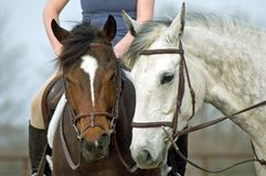 Two Horses. Standing next to each other with heads together Stock Photography