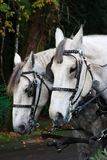 Two horses. Harnessed two horses pulling a wagon Stock Image