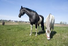Two horses Royalty Free Stock Photo
