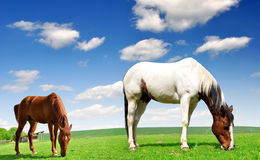 Two horses. In the meadow Stock Photos