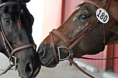 Two Horses. Nuzzling each other while waiting to compete in a dressage horse show Royalty Free Stock Images