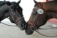 Two Horses. Nuzzling each other while waiting to compete in a dressage horse show Stock Photos