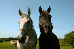 Two horses. One black and other white in a blue sky Stock Image