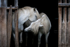 Two Horses. White Camargue horses at the satble Stock Photo