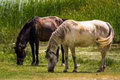 Two horses. Grazing in a meadow. In the background, the reeds in the water Stock Photos