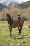 Two horses. Standing and looking at the camera in the farm Royalty Free Stock Photography