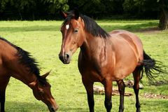 Two horses. On a meadow royalty free stock images