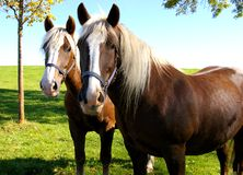 Two horses Stock Photography