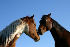 Two horses. In a blue sky Stock Image