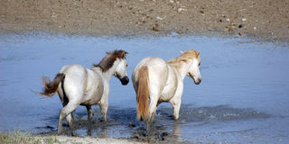 Two horses royalty free stock image