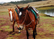 Two Horses. By a small pond outside of Cusco, Peru royalty free stock photography